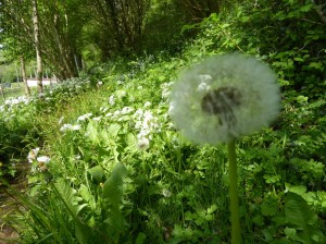 She Loves me.  Dandelion clock with wild garlic.