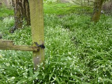 Wild Garlic in Whitewebbs Park