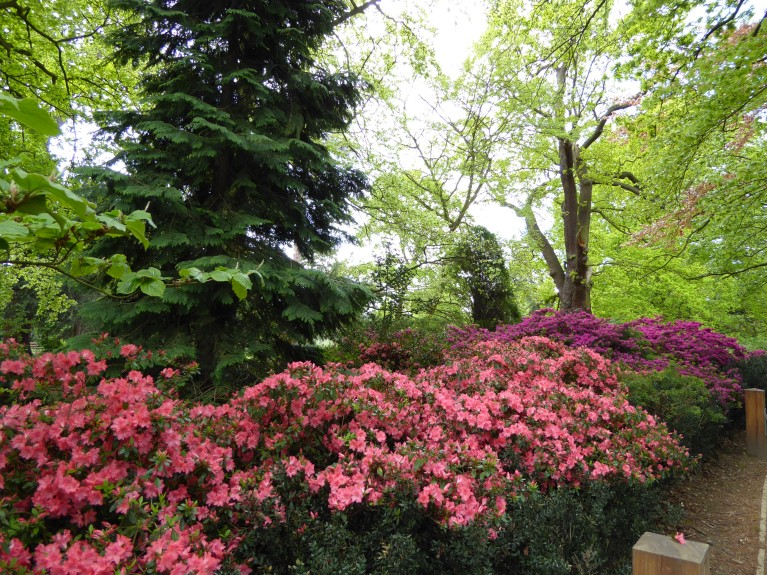 Azaleas on the path from Car park to House in Forty Hall.