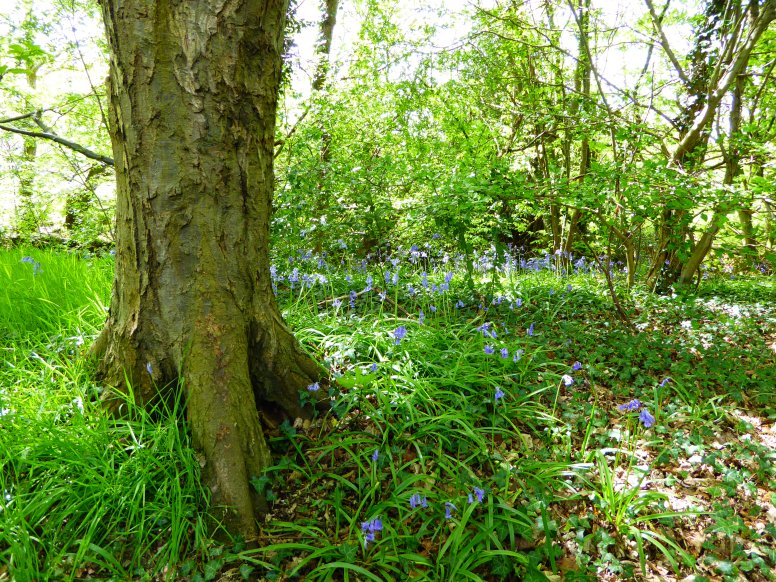 Some Bluebells.  Not many but pretty all the same.