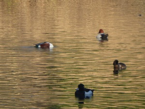 Enfield Ducks on Golden water