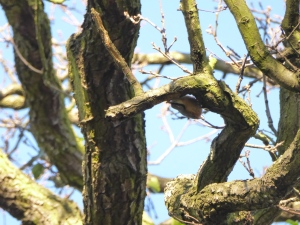 enfield-nuthatch