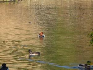 Pochard and spoonbill duck