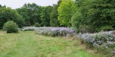 Michlemas Daisies Hadley Wood 2