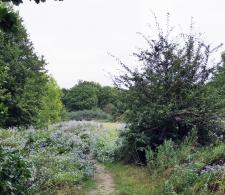 Michlemas Daisies Hadley Wood 3