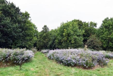 Michlemas Daisies Hadley Wood