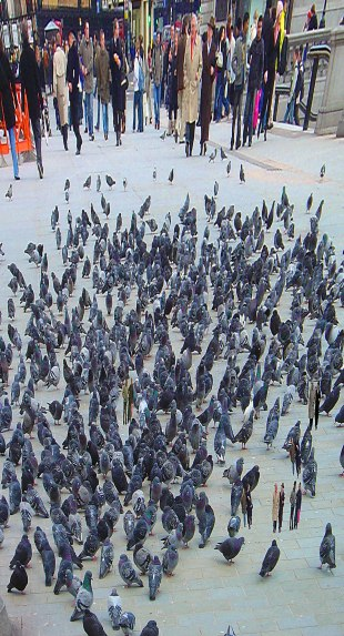 Pigeons and people flattened SH