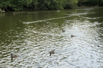 Whitewebbs ducks 2