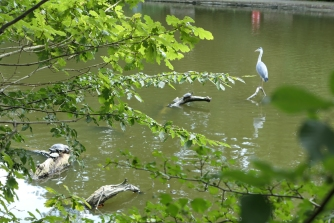 Whitewebbs Heron and Turtles