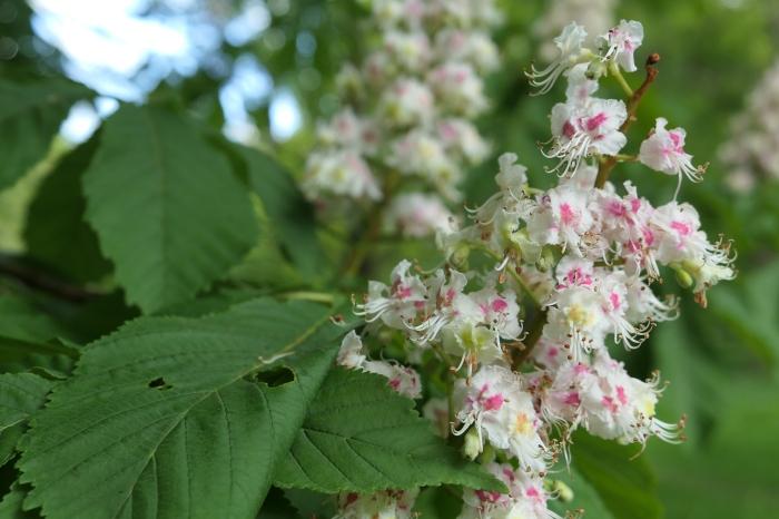 Whitewebbs horse chestnut blossom